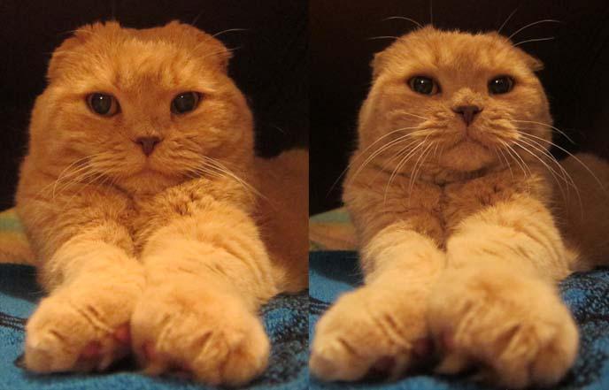 Cutest Scottish Fold Cat In The World Basil Farrow Cute Cats Ever