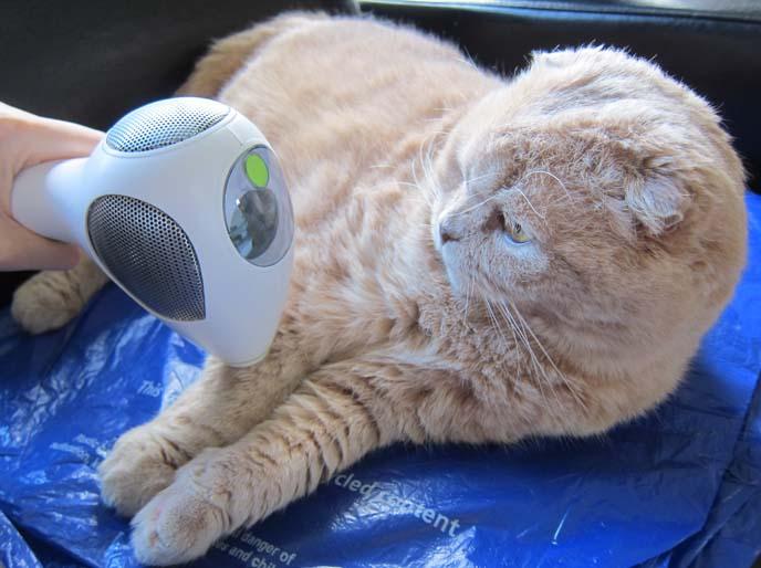 CUTE SCOTTISH FOLD CAT BASIL FARROW VS  CATNIP BALL! TRIA
