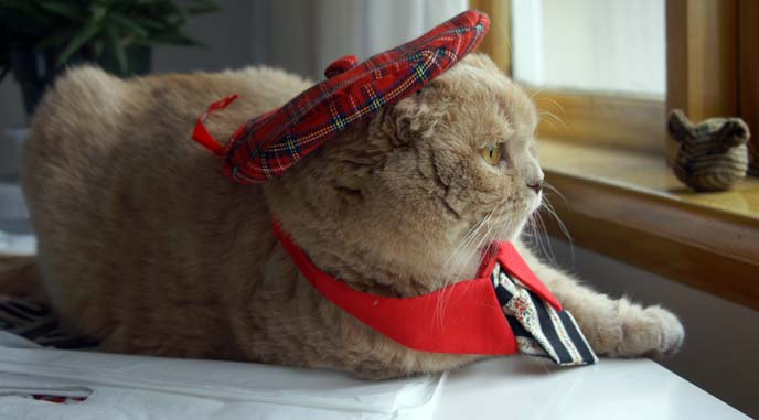 scottish fold cat beret hat, funny kitty costume