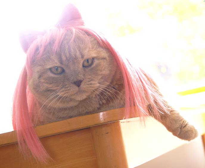 Cat wigs,  Halloween pet costumes, Cushzilla kigurumi, Lady Gaga wigs for cats, Scottish Fold beret & necktie outfit dress-up, gaga bow wig, cat costume, funny pets wearing clothes, dog wigs, bow tie cat, cat wearing hat, cat in hats, dog clothes, dog halloween costumes, basil farrow, scottish fold cat, kitten