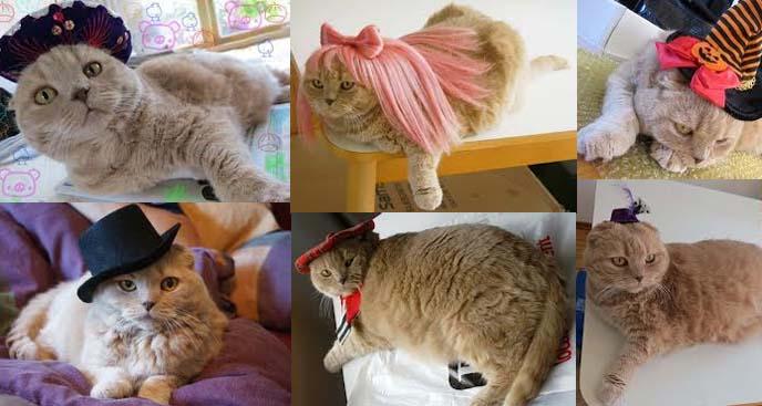 cat wearing hat, cat in hat, scottish fold cat costume, cat wigs, cat beret, cat sombrero, cat hats, pet costumes, halloween pet costumes, best pet outfits, funny pet clothes, halloween cat costumes