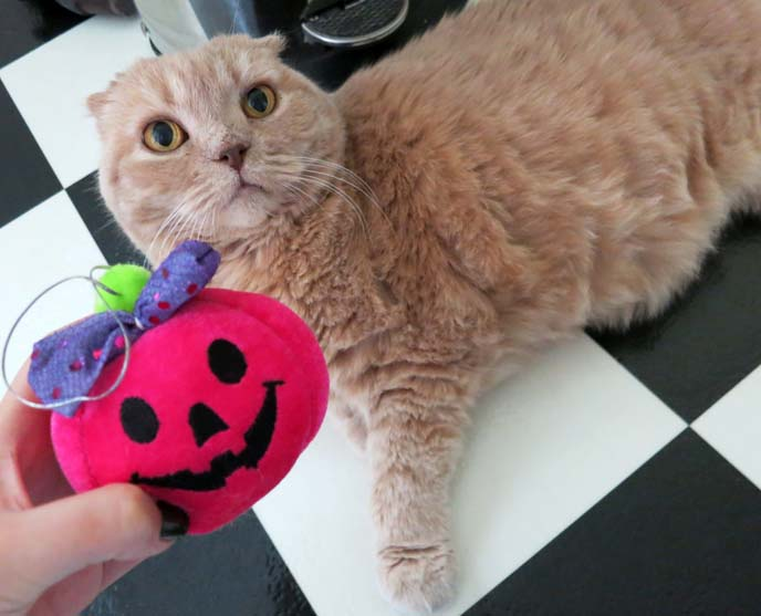scottish fold cat, halloween costume cats, pink pumpkin, stuffed pumpkin toy