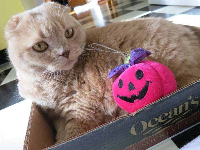 scottish fold cat, halloween costume cats, pink pumpkin, stuffed pumpkin toy, cute fat cat, cutest cat in the world, scottish folds, kitten playing, coupari, shorthair folds, halloween cat, pet costumes, pet photography, basil farrow, scottish fold cats, british shorthair fold, exotic shorthair cats, squish faced cats, squishy faced kitten