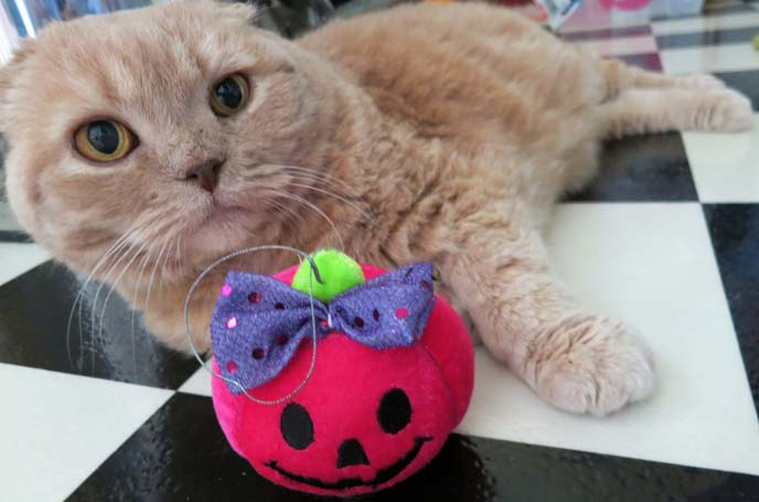 scottish fold cat, halloween costume cats, halloween cat, pet costumes