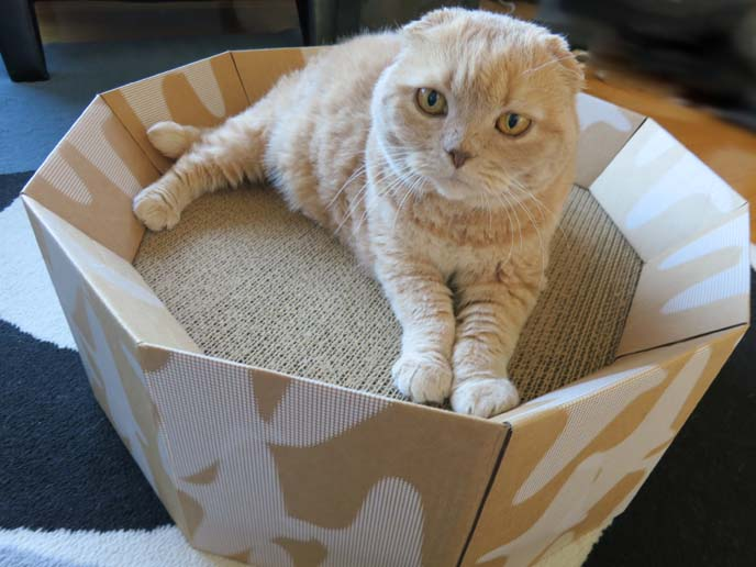 pet furniture, designer pet supplies, best pet beds, basil farrow, scottish fold cats, british shorthair fold