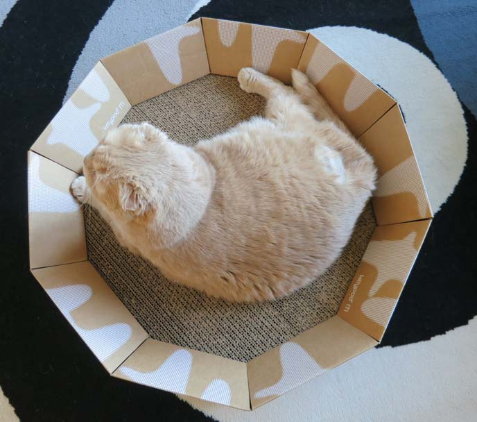 kittypod, cat furniture, designer cat furniture, cardboard scratcher, cat bed, cardboard cat bed, scottish fold cat, cutest cat ever, cat beds, kittypod iti, cat loung