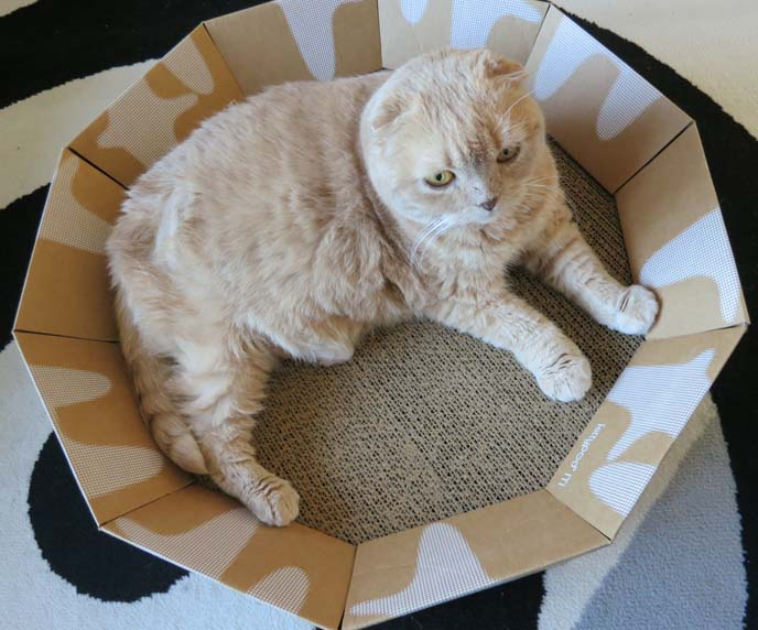 kittypod, cat furniture, iti, cat lounger, squish faced cats, squishy faced kitten