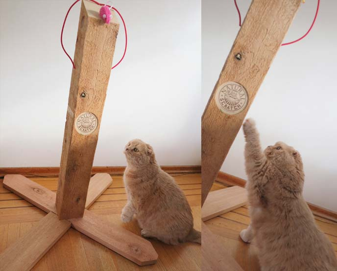 wood cat scratcher, cat scratching wood, cute fat cat, cutest cat in the world, scottish folds