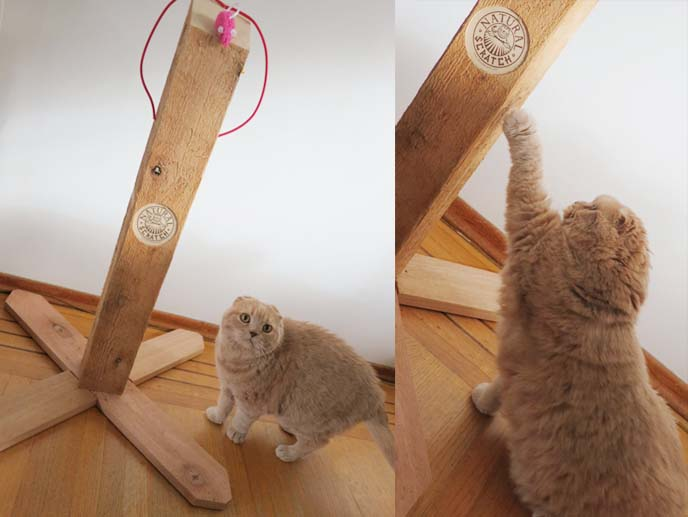 natural scratch, wood scratching pole, squishy faced kitten, scratching pole, sharpen nails