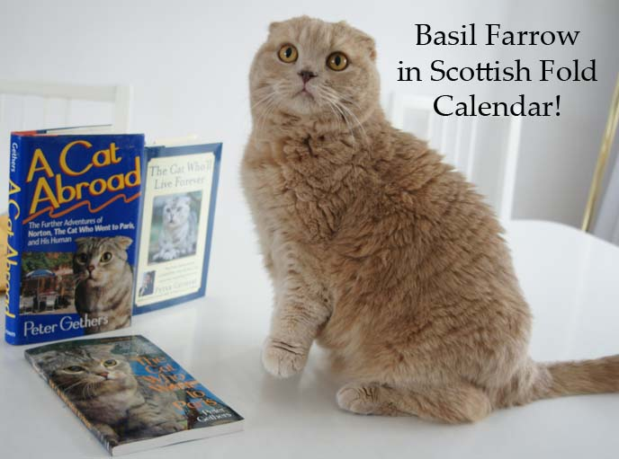 scottish fold rescue, scottish fold calendar, exotic shorthair cat, cute fat cat, cutest cat in the world, scottish folds, kitten playing, coupari, shorthair folds, pet photographer, basil farrow, scottish fold cats, british shorthair fold, exotic shorthair kittens, squish faced cats, squishy faced kitten