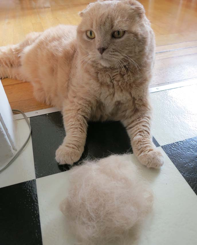 furminator for cats, Scottish Fold cat being brushed with Furminator brush! Cutest fat kitten grooming, washing, furball, cat hair, cat shedding, cat care, fat cat, cat Furminator video how to use, how to groom cats