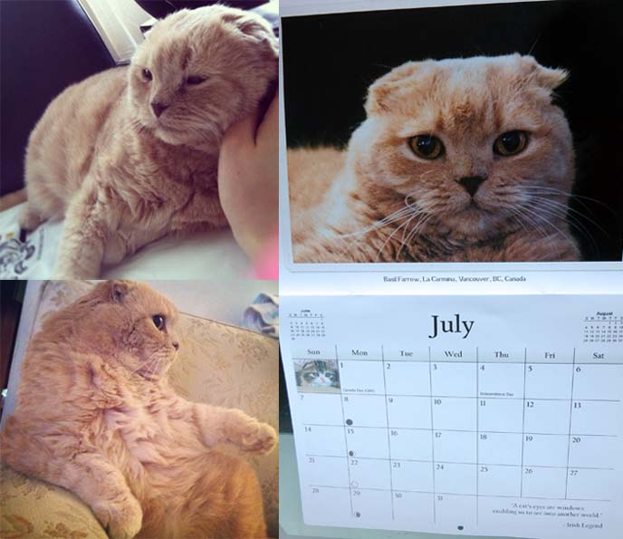 scottish fold rescue, scottish fold calendar, scottish fold instagram, スコティッシュフォールド, cutest cats, british shorthair fold, munchkin fold, munchkin cat breeders