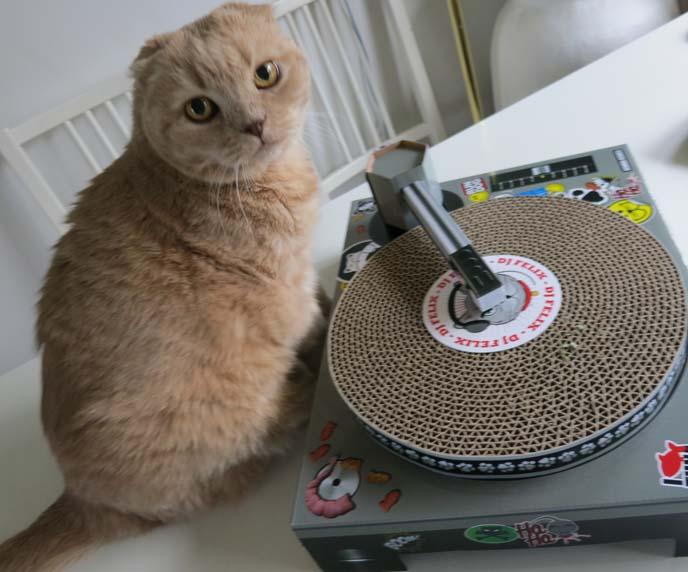 scottish fold cat, scottish folds, fold eared cat, dj cat scratch, Cat Scratch DJ, thinkgeek, cat deejay, cat scratching vinyl, uncommon goods, panda bear rug, panda carpet, panda bear decor, cat scratcher, turntables, cat dj-ing, cat scratching records, cutest cat ever, DJ Cat Scratch Turntable, scottish fold kitten, munchkin folds, munchkin cats, funny cat video, deejay cat scratch toy, funny cat toys