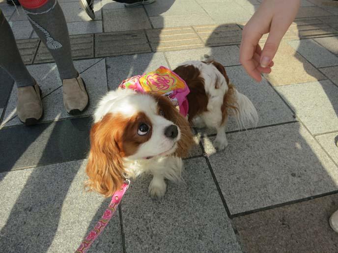 japanese dog clothing, dog wearing clothes, kawaii puppy tokyo