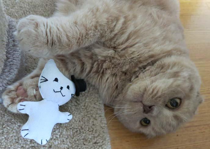 scottish fold, scottish fold kitten, basil farrow, ronan farrow cat