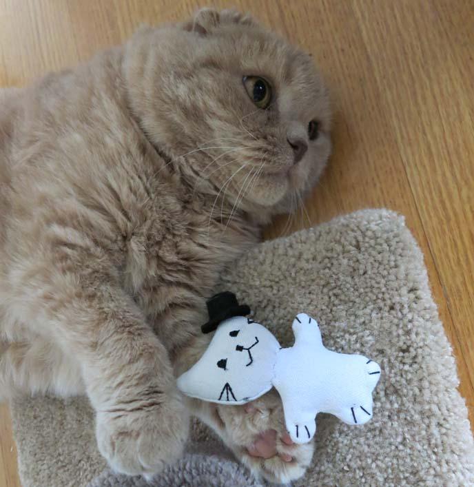 scottish fold cat, cute cat playing, fat cat, folded eared cat