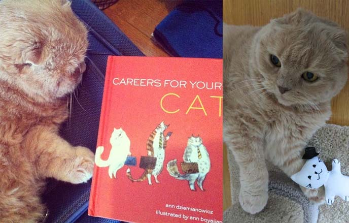 careers for your cat, scottish fold, cat gift book, cat lovers gifts