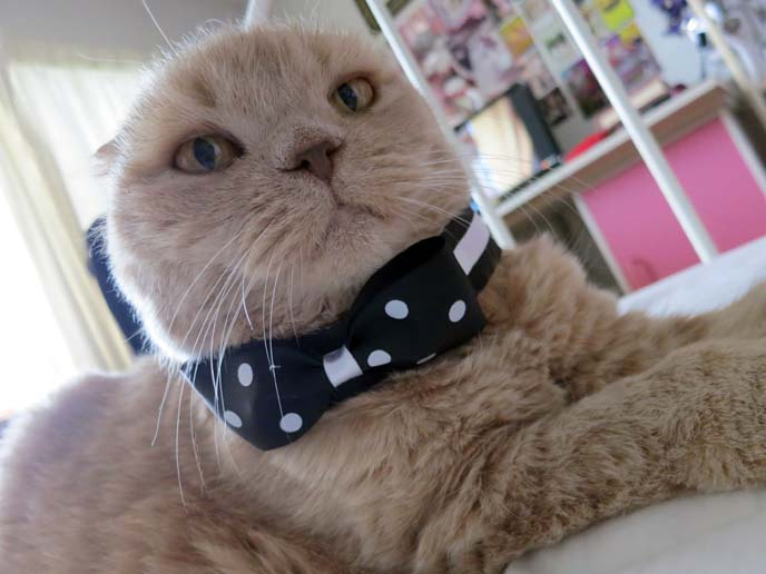 Earless Cat Breed