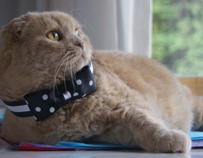 scottish fold bowtie, bow tie cat