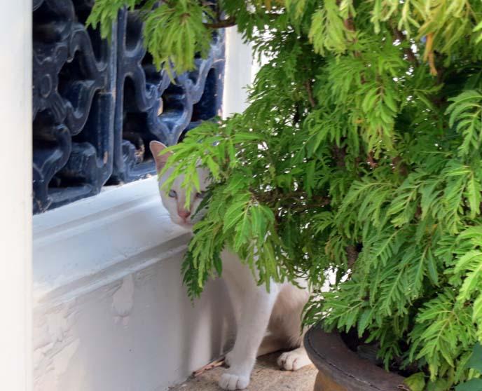 stray white cat, bangkok thailand cats