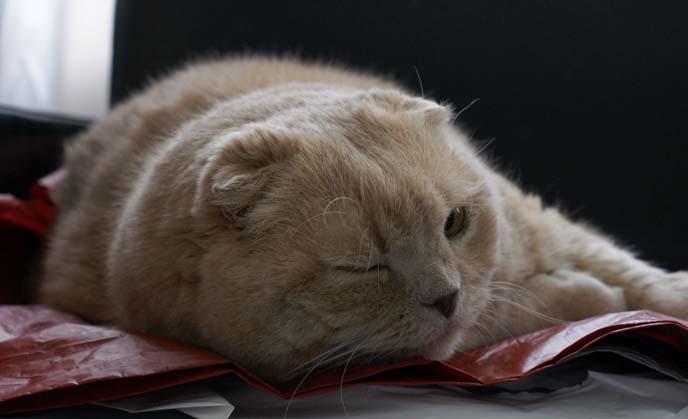 cat winking, closing one eye