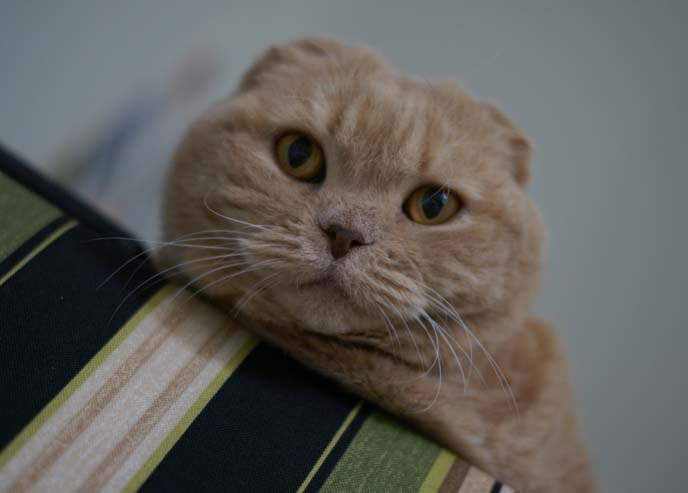 scottish fold cat, triple folded ear