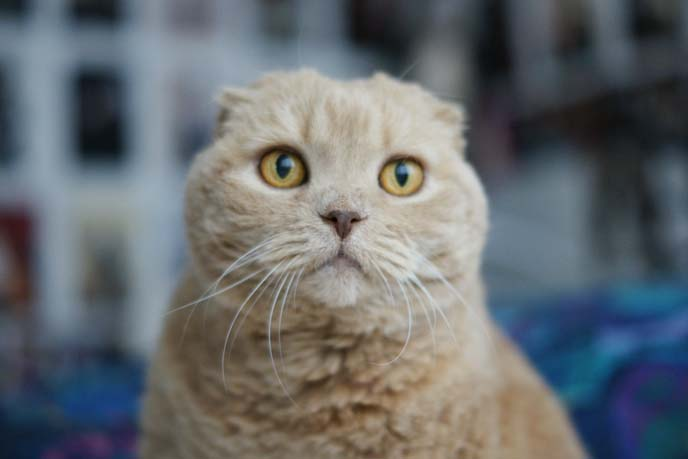 owl face cat, scottish fold cat big eyes