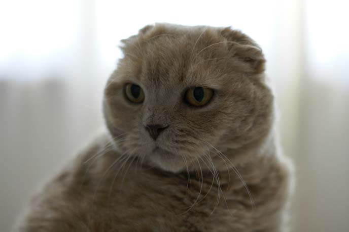 scottish fold cat face