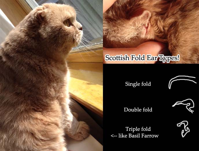 scottish fold cat ears diagram, single folded ear, double-fold