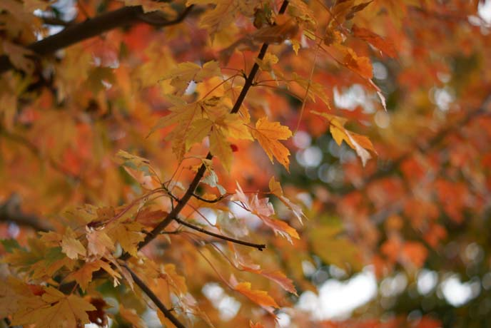 orange fall leaves