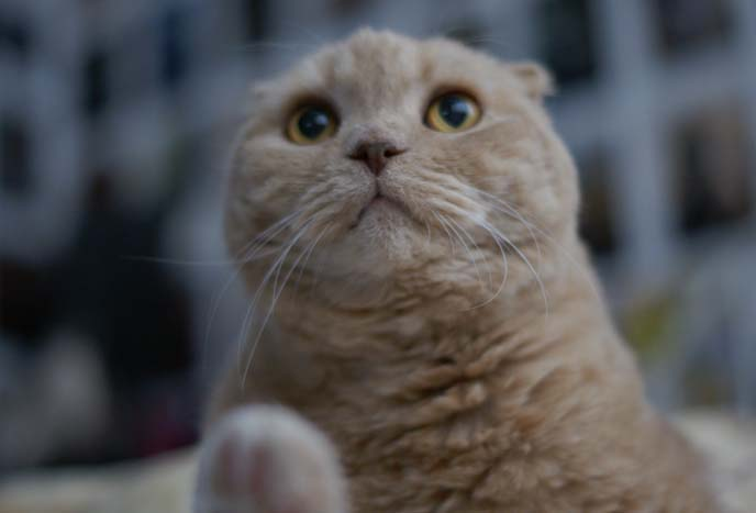 A Real Life Garfield The Cat Cream Yellow Scottish Fold Basil Farrow