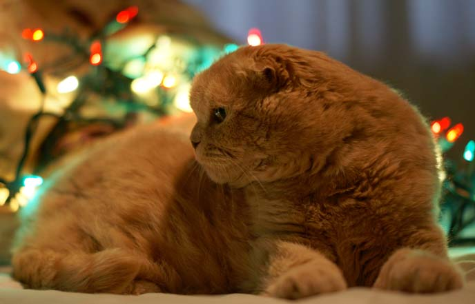 cat with christmas bokeh