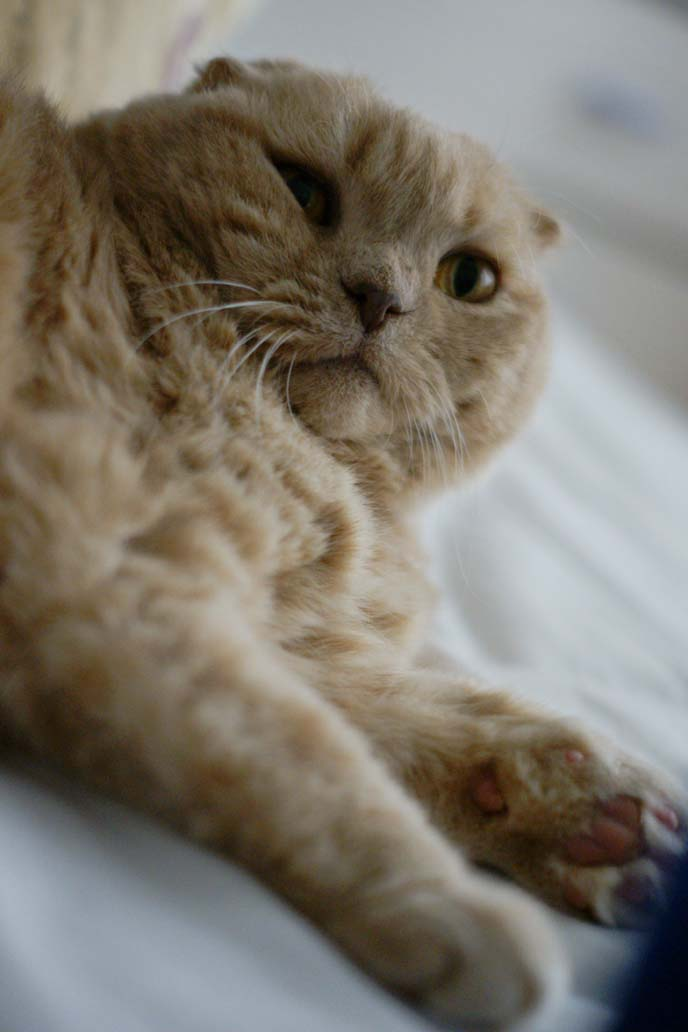 A Real Life Garfield The Cat Cream Yellow Scottish Fold Basil Farrow