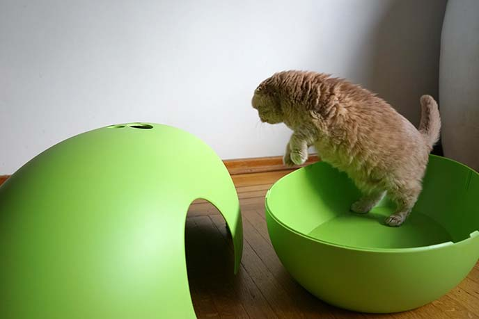 scottish fold cat jumping in air