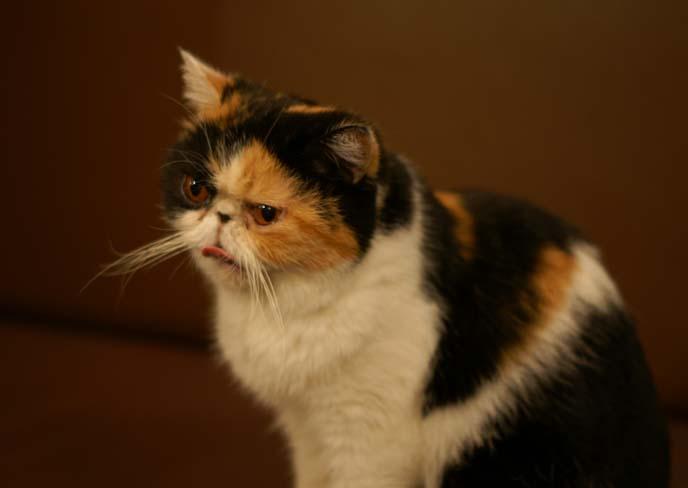 exotic shorthair, flat faced cat