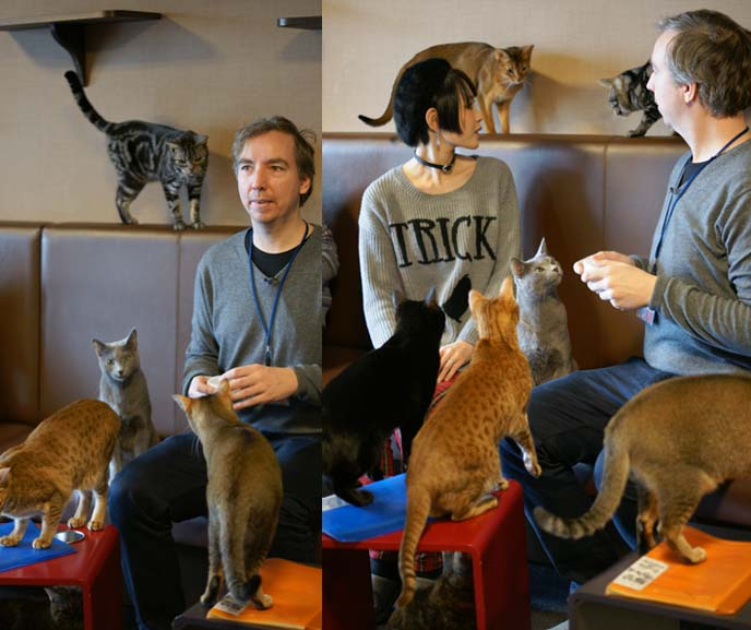 cat cafes, play with many cats