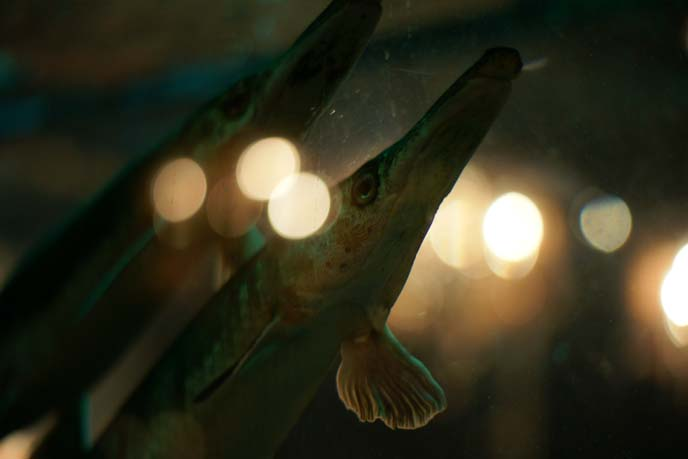 long nosed fish in tank