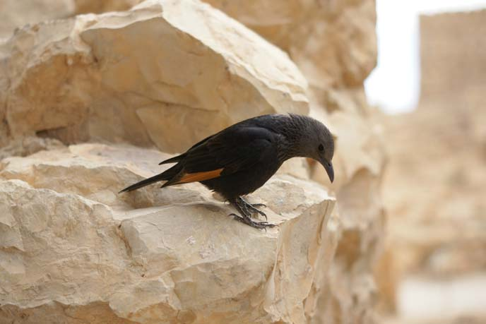 israel black bird, Tristram's Starling