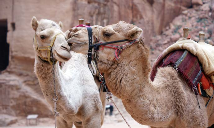 two camels kiss