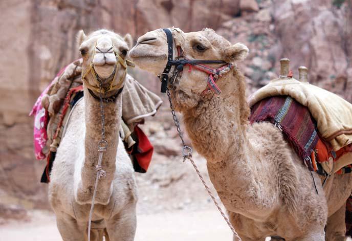 camels kissing