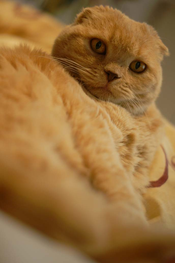 scottish fold cat in bed
