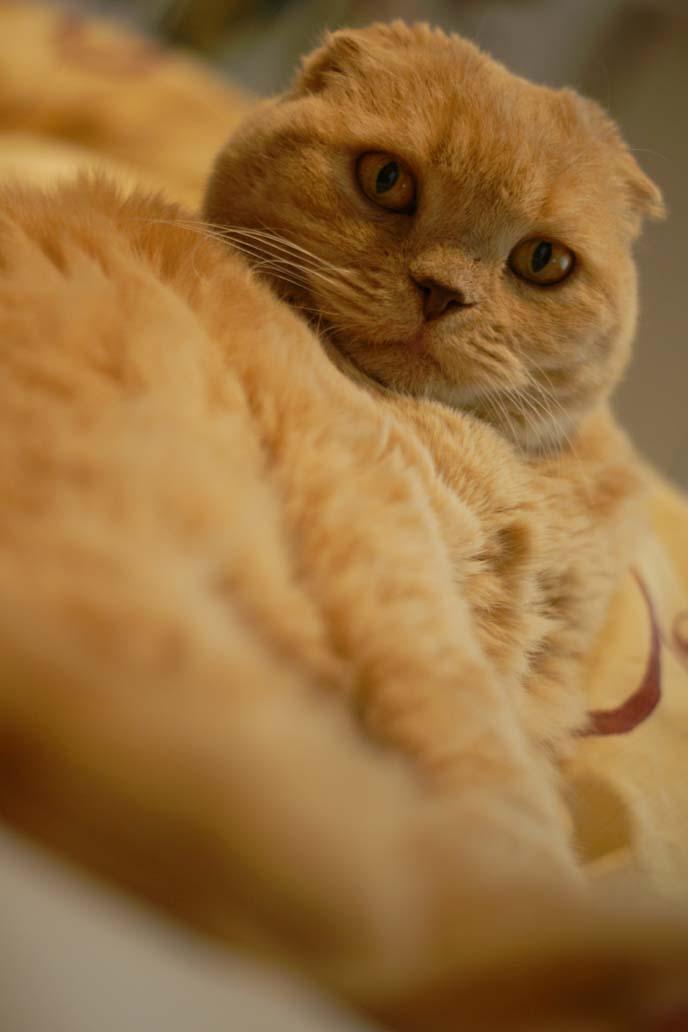 yellow cat fur