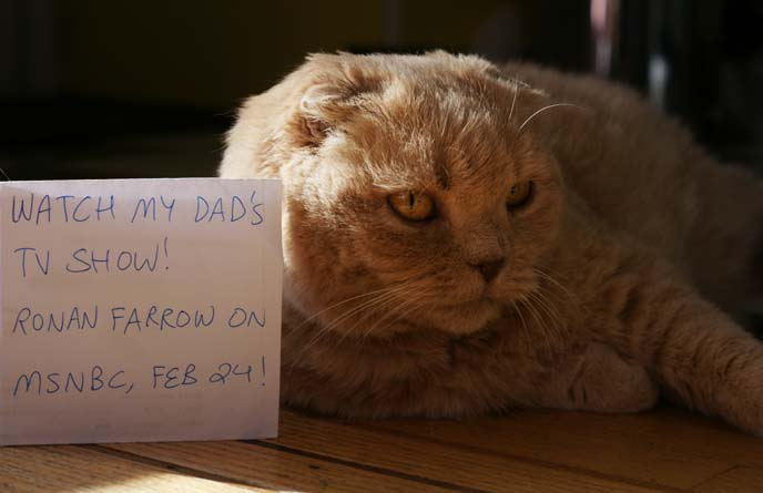 ronan farrow's scottish fold cat