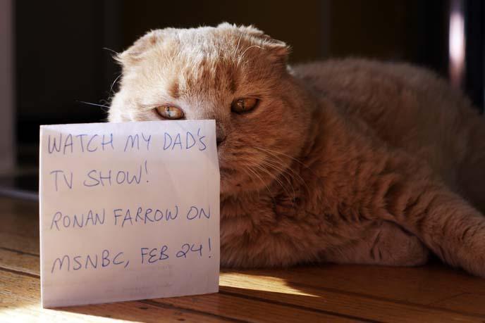 fat face cat, cream british shorthair