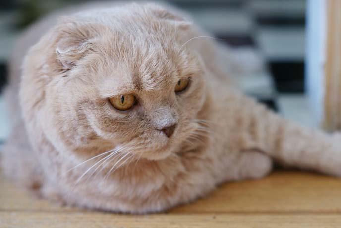 famous pet cat