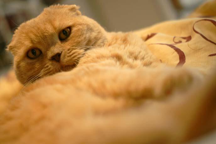 funny fold eared cat