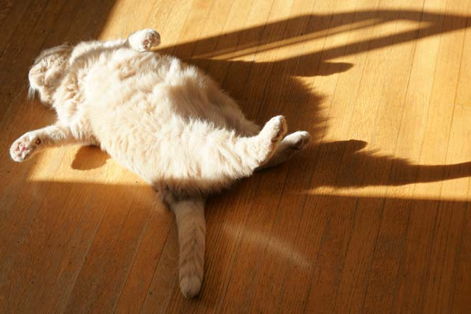 cat sunbathing belly up