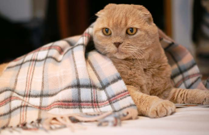 scottish cat covered in scarf