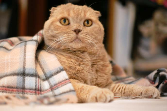 scottish fold cat costume, scarf
