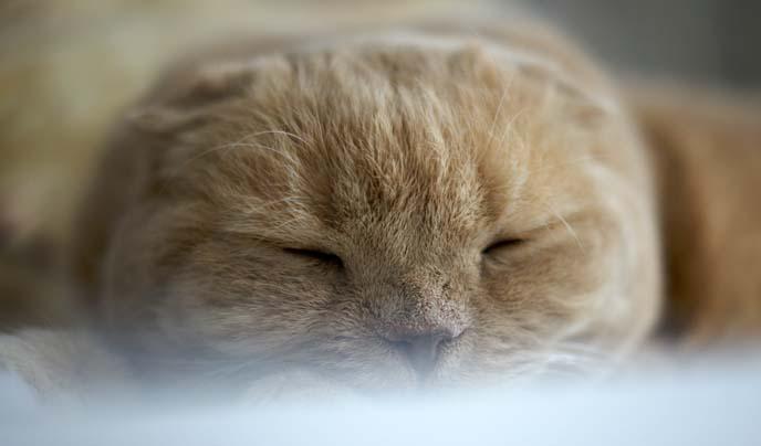 round cheeks cat, scottish fold